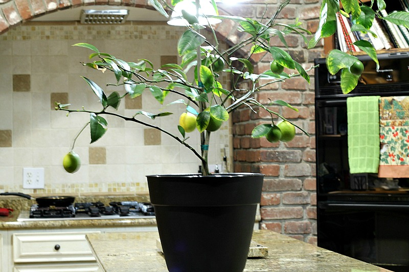 Dwarf Meyer Lemon tree on counter