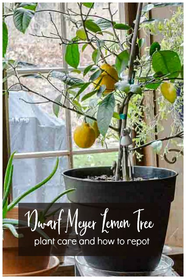 dwarf meyer lemon tree plant