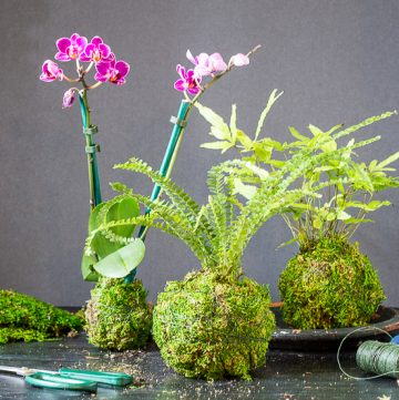 3 kokedama on table