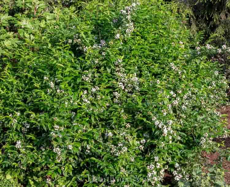 Abelia grandiflora in flower
