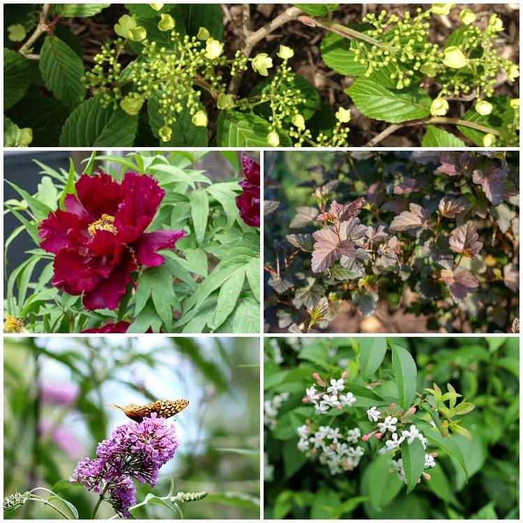 5 easy to grow shrubs collage