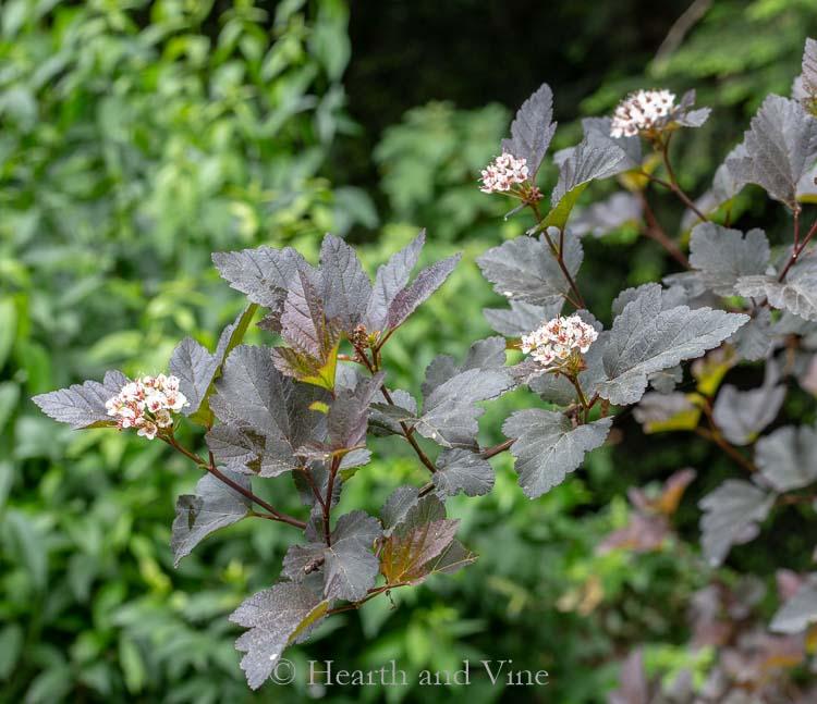 Ninebark diablo in bloom