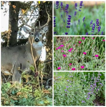 Deer resistant plants and a buck in the yard