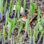 Hosta coming up in the spring ground.