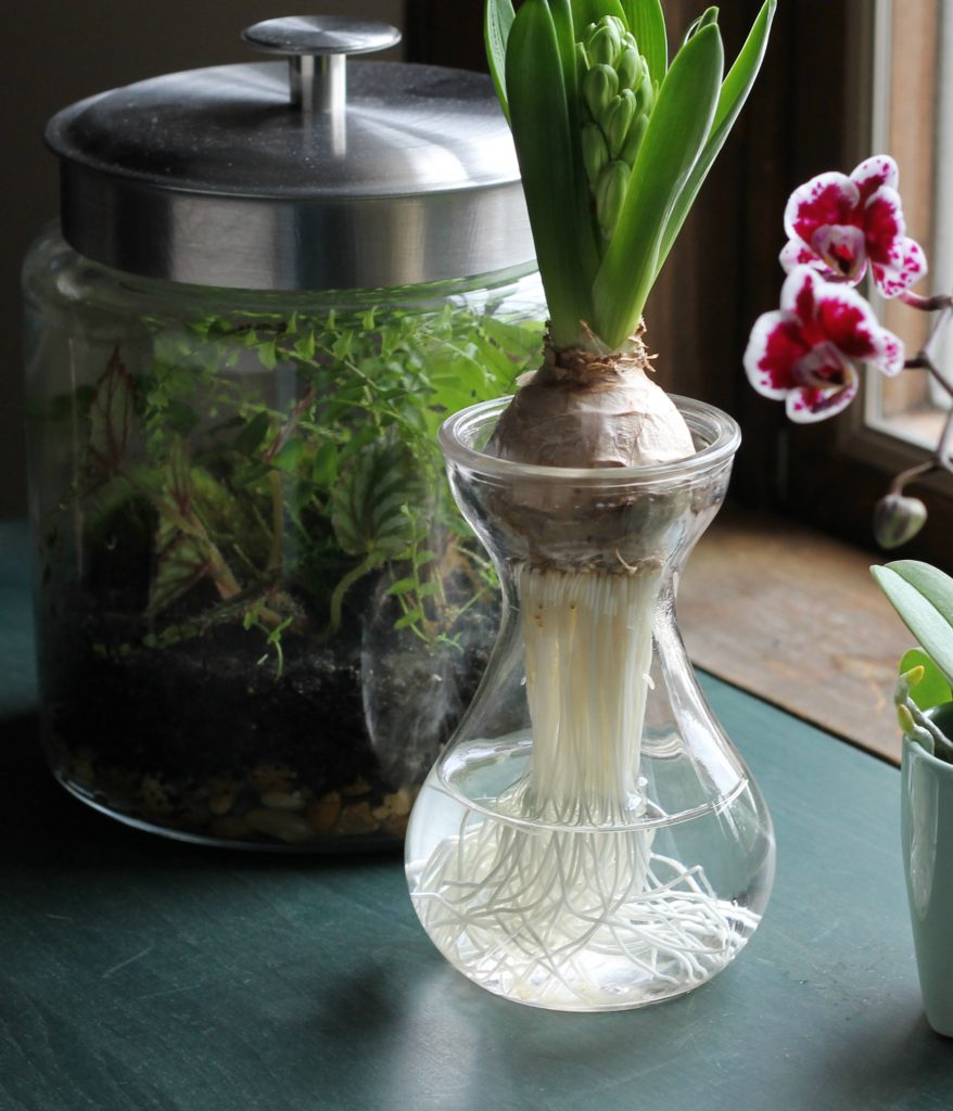 Hyacinth in glass vase