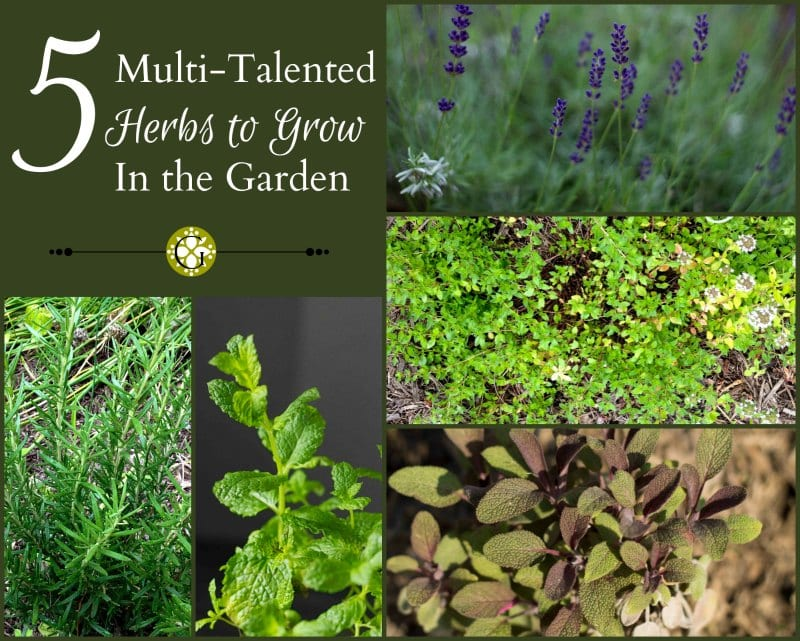 5 Multi-talented and Useful Herbs to Grow