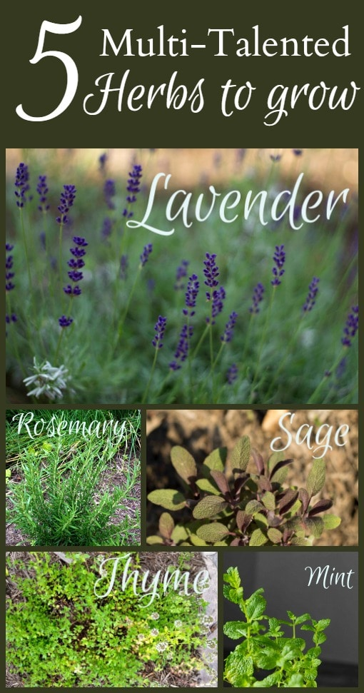 Learn about 5 multi-talented useful herbs you must grow in your garden. They are all perennials which look beautiful, and have several other talents too.