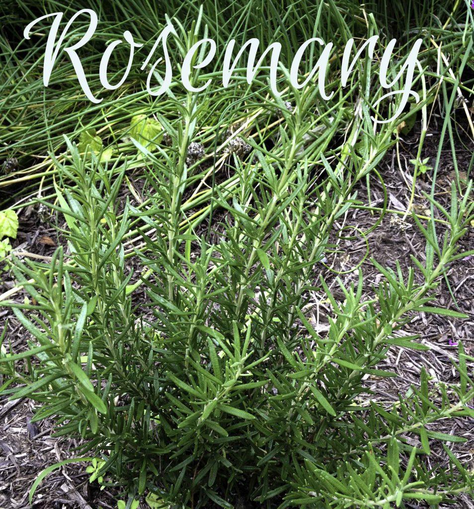 Rosemary ~ 5 useful herbs