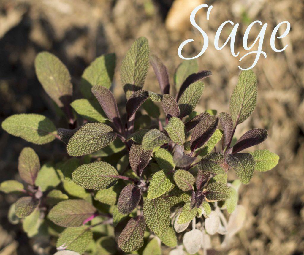 Sage ~ 5 useful herbs