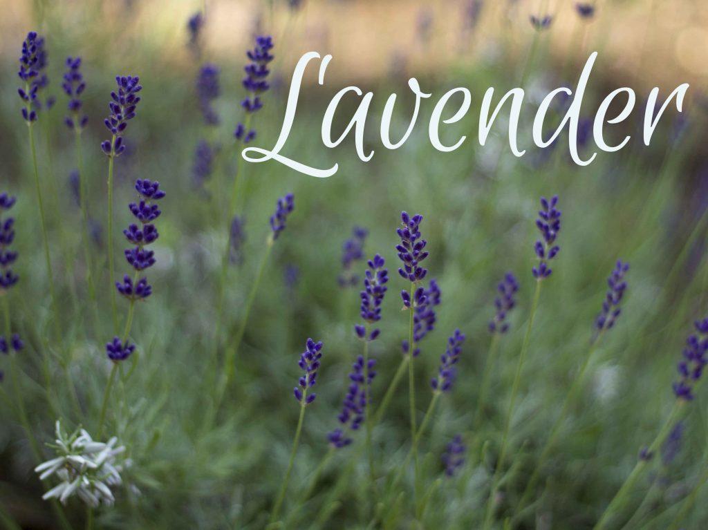 lavender ~ multi-talented useful herbs