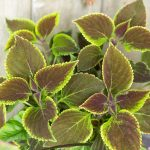 Annual Coleus ~ Plant Life Cycles ~ gardenmatter.com