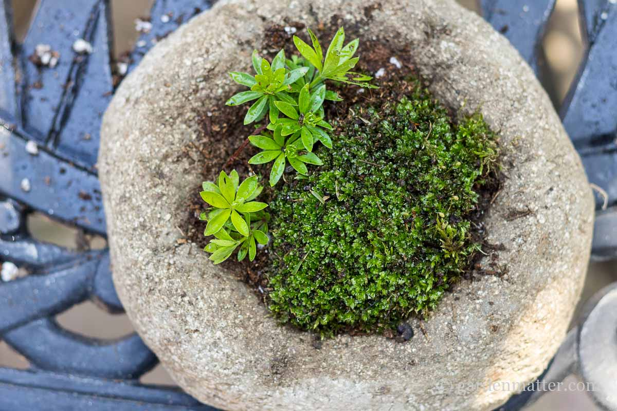 Hypertufa with moss and sweet woodruff ~ Freeform Hypertufa Planter ~ gardenmatter.com