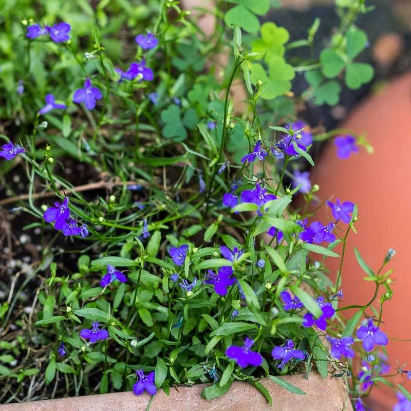 Lobelia ~ Plant Life Cycles ~ gardenmatter.com