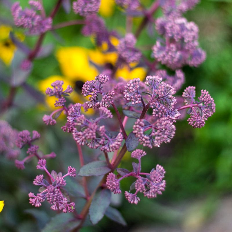 Growing Sedum – Hardy Succulents that Grow in Cold Climates