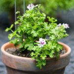 Scented Geraniums: Another Fragrant Beauty