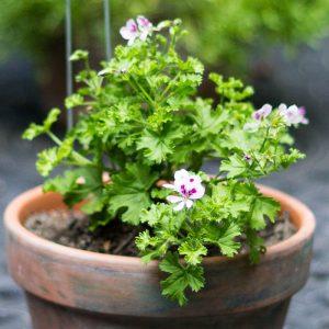 Tender Perennial Scented Geranium ~ Plant Life Cycles ~ gardenmatter.com