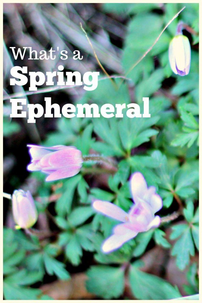 spring ephemeral windflowers