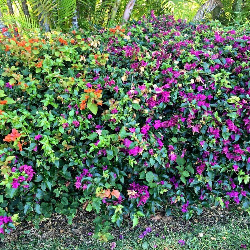 Bougainvillea Orange and Pink - Same Plant DIfferent Hardiness Zones ~ gardenmatter.com