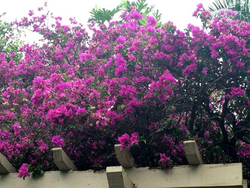 Bougainvillea Shrub - Same Plant DIfferent Hardiness Zones ~ gardenmatter.com