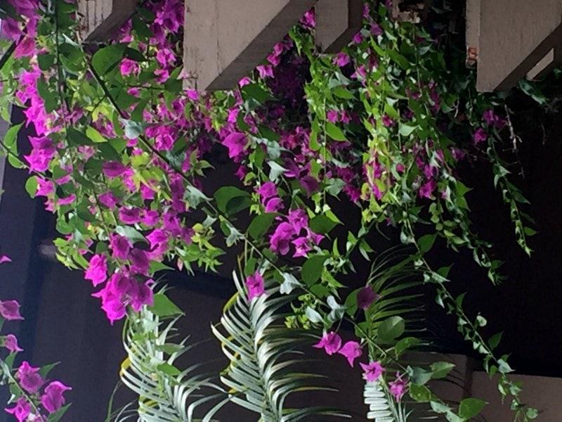 Bougainvillea vine - Same Plant DIfferent Hardiness Zones ~ gardenmatter.com