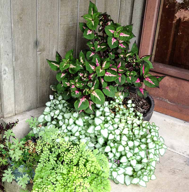 Shade Loving Plants Favorite Picks For My Front Porch