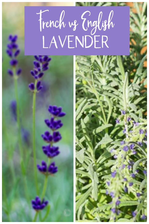 French and English lavender