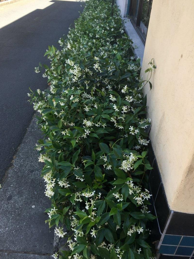 Jasmine on side of building - Same Plant Different Hardiness Zone ~ gardenmatter.com