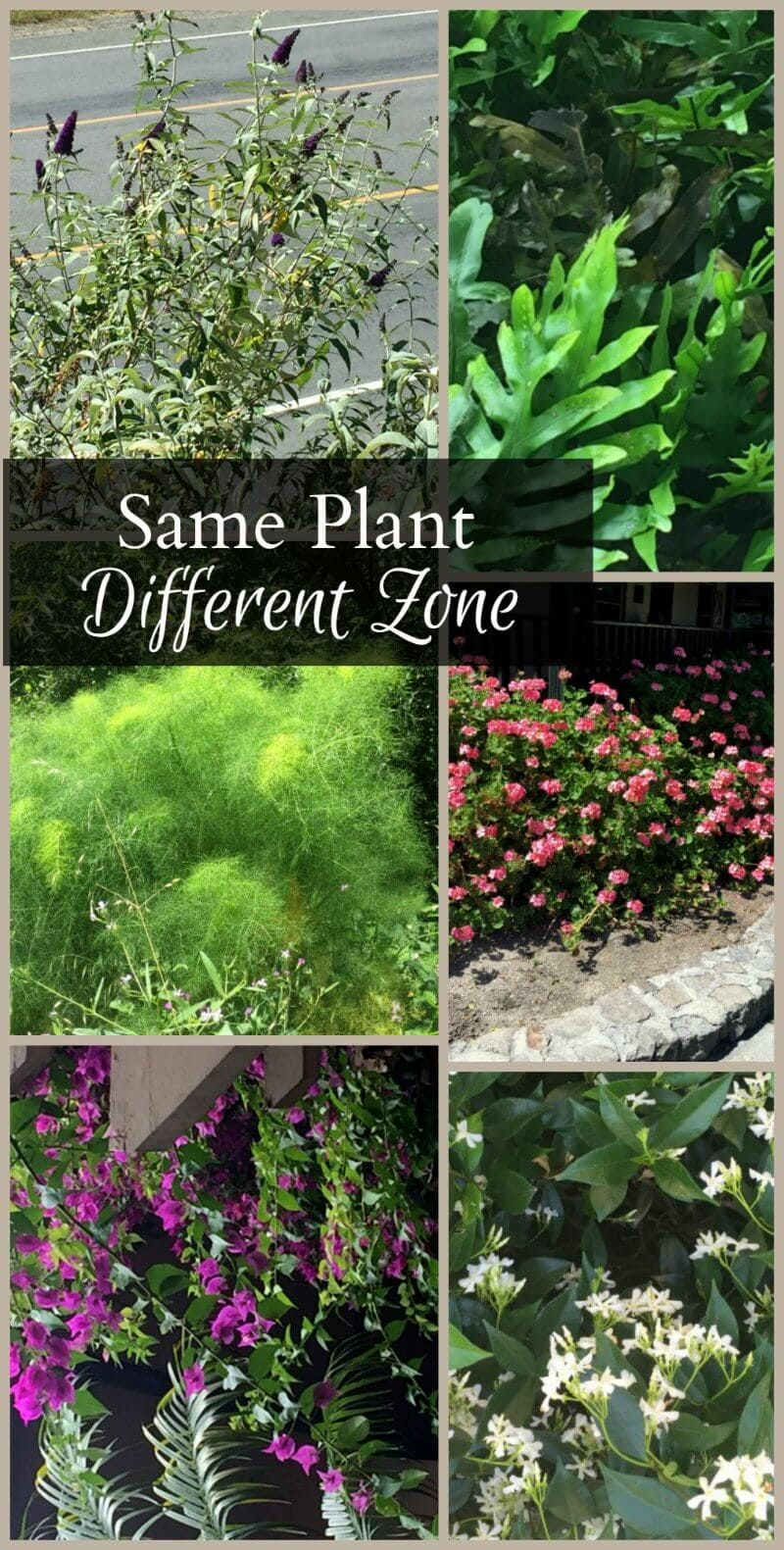 The same plant in different hardiness zones. Plants which are grown as annuals or houseplants are actually weeds or grow huge in other areas.
