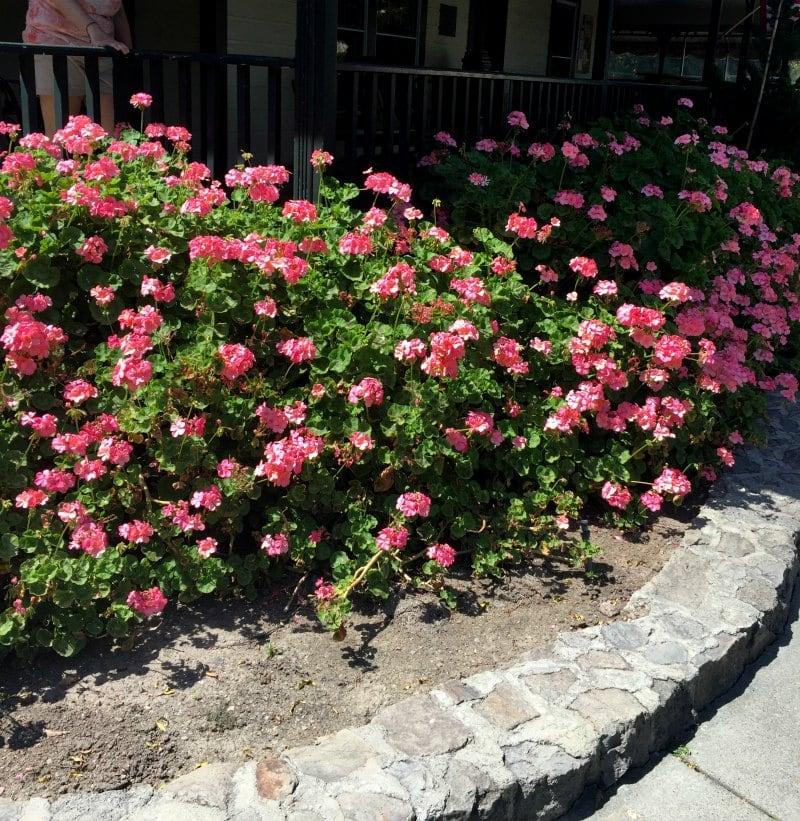 Zonal Geraniums - Same Plant Different Hardiness Zones ~ gardenmatter.com