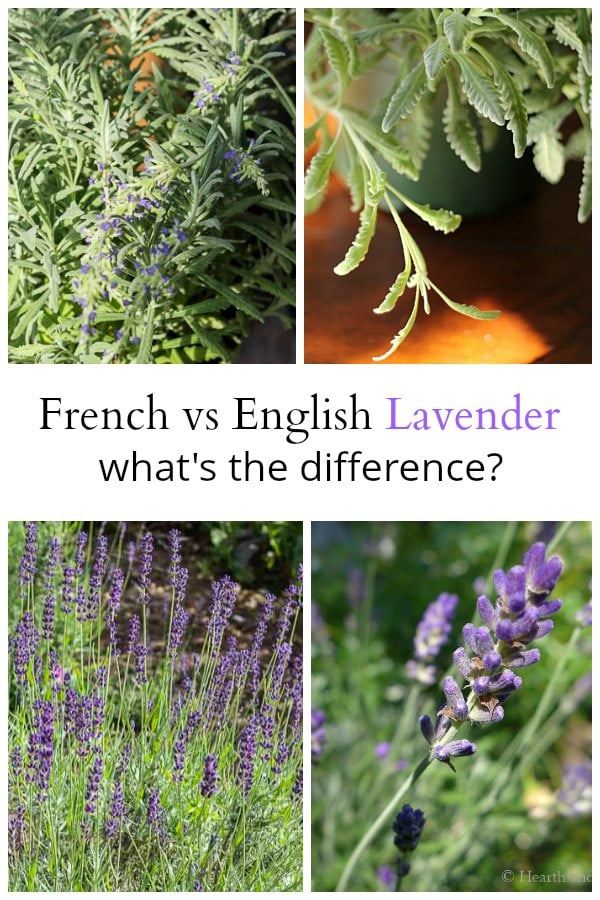 English Lavender Vs French Lavender Varieties And How To
