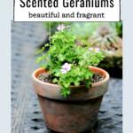 Lemon scented geranium in a clay pot.