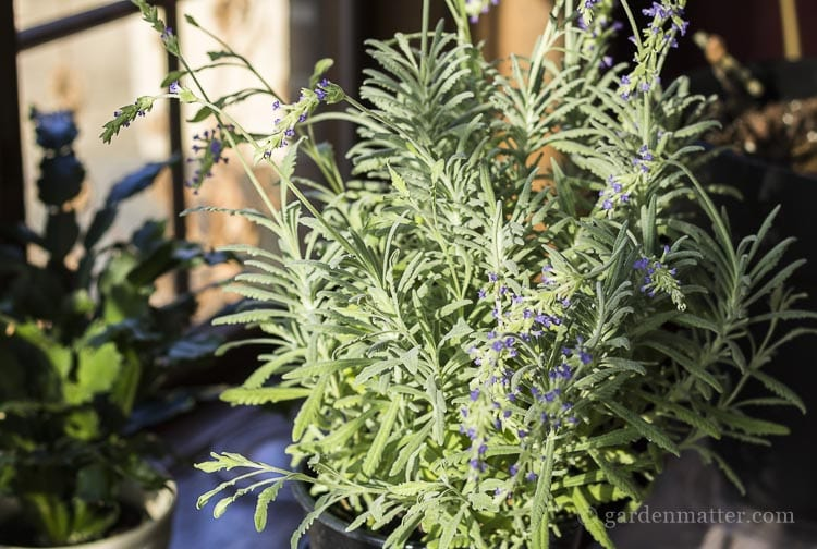 Difference between English and French Lavender