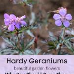 Geranium-pratense-Okey-Dokey-gardenmatter.com_