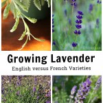 Four images. French lavender leaves, hidcote lavender, sweet romance and Munstead lavender.