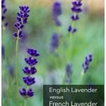 Field of dark purple hidcote lavender.