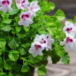 Flowers scented geranium plant