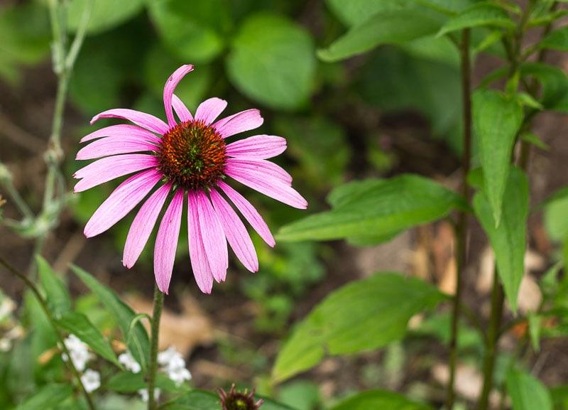 Echinacea-purpurea-Purple-Coneflower-lasting-blooms