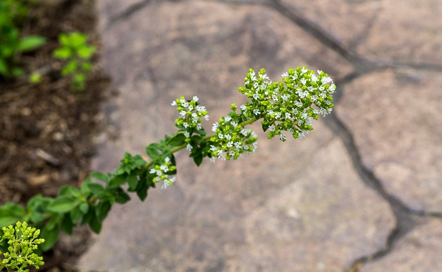 Flowering Oregano - 10 summer gardening tips