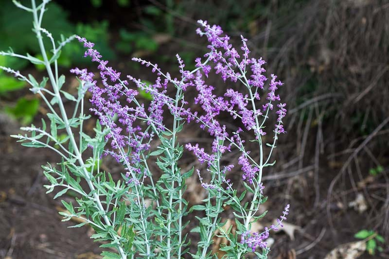 Russian-Sage-Long-Blooming-Perennial