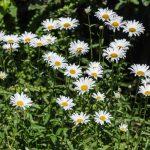 Shasta Daisy-Long-Blooming-Perennial