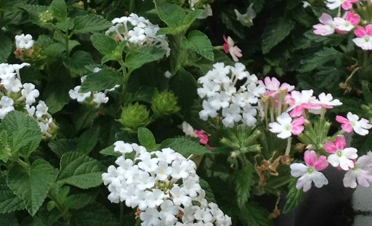 Trailing verbena white and pink
