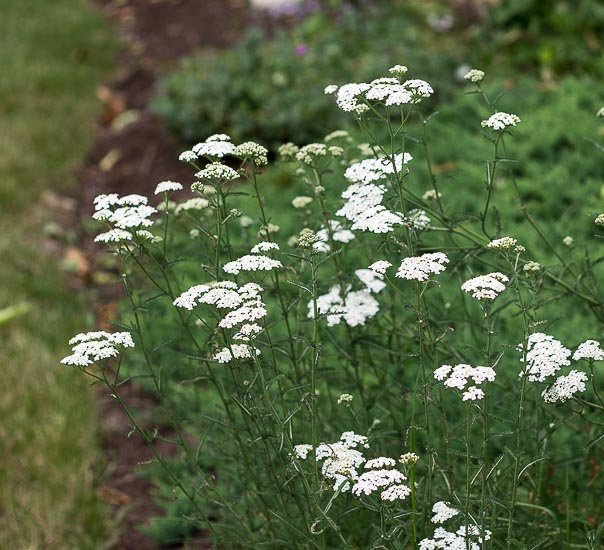 Common white yarrow for cut flower arrangements.
