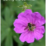 Pink geranium flower with a bee on it and text stating tips for gardening during the summer.