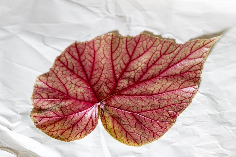 Back of begonia leaf.