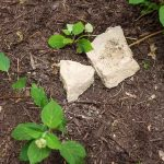 Easy Layering Plant Propation - Hydrangea Invincibelle Spirit