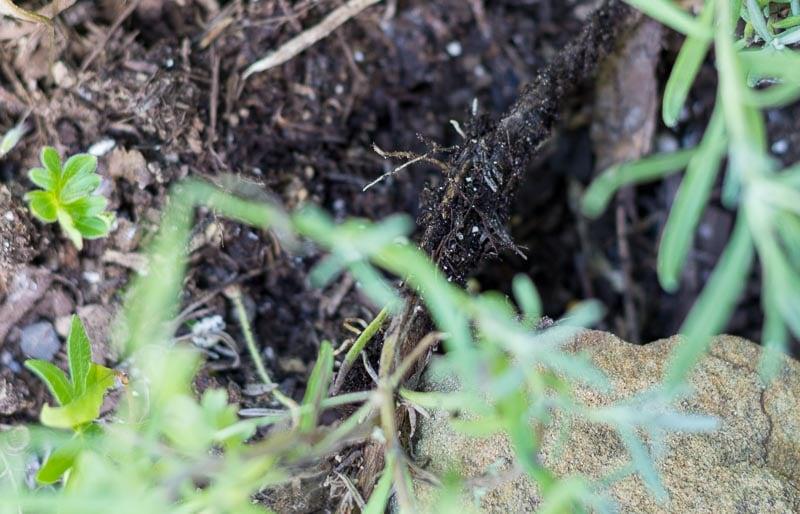 Lavender Roots