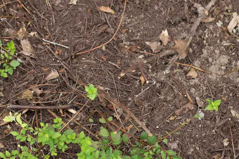 Easy Layering Plant Propation - Spirea