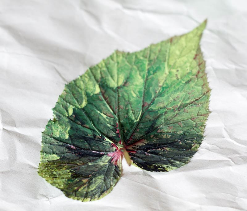 Shades of green paint on the back of a begonia leaf.
