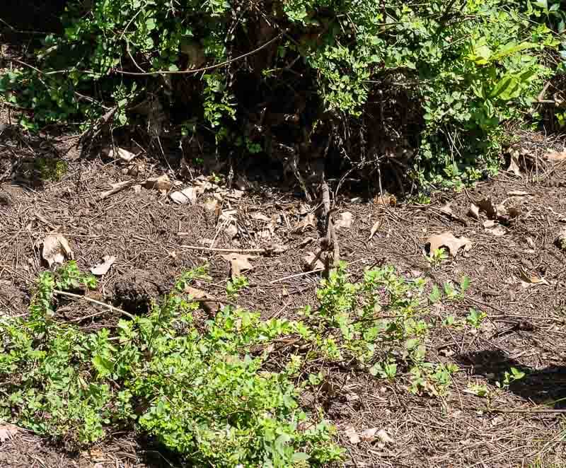 Spirea layering plants - propagate woody plants