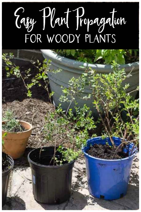 potted propagated plants from woody shrubs